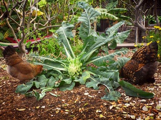 chicken-vegetation