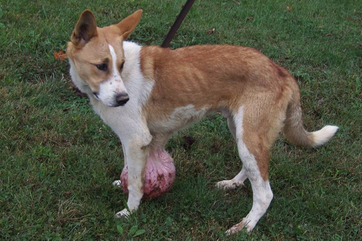 Dog With 6-Pound Tumor Rescued Just In Time After Being Abandoned At A Kill Shelter