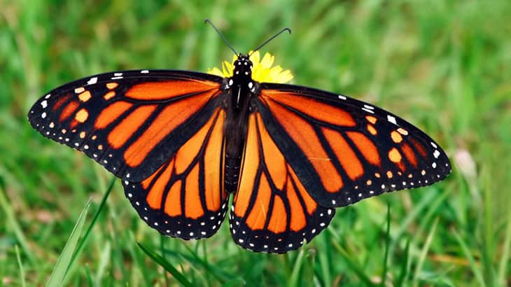 The Remaining 1% Of Monarch Butterflies Before They Are Totally And Irreversibly Extinct