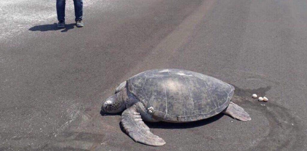 Green Sea Turtle Goes To Nesting Beach To Lay Her Eggs And Ends Up In An Airport Runway
