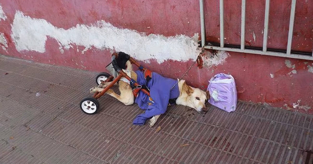 Dog With Disability Abandoned On A Street With A Broken Wheelchair And Box Of Diapers