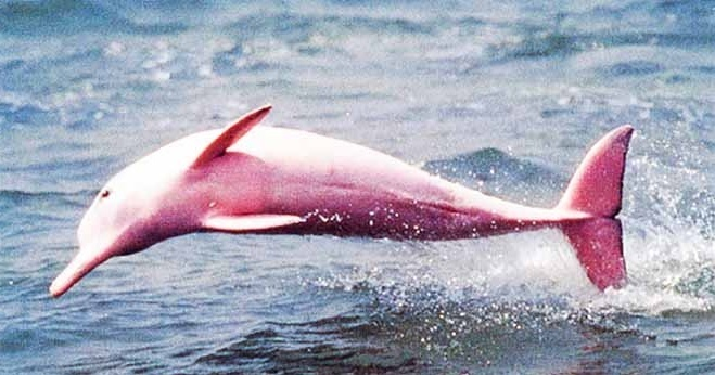 A Rare And Unique Pink-Colored River Dolphin Gives Birth To Her Calf In Louisiana - True Activist