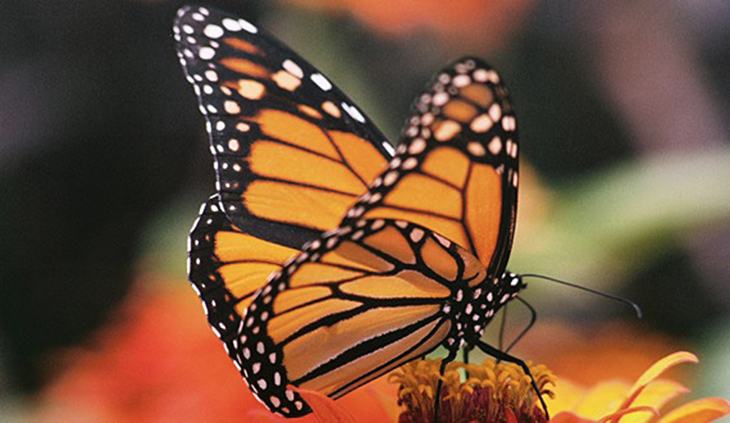 The Majestic Monarch Butterfly Has Increased In Population, Seen On Their Last Migration Journey