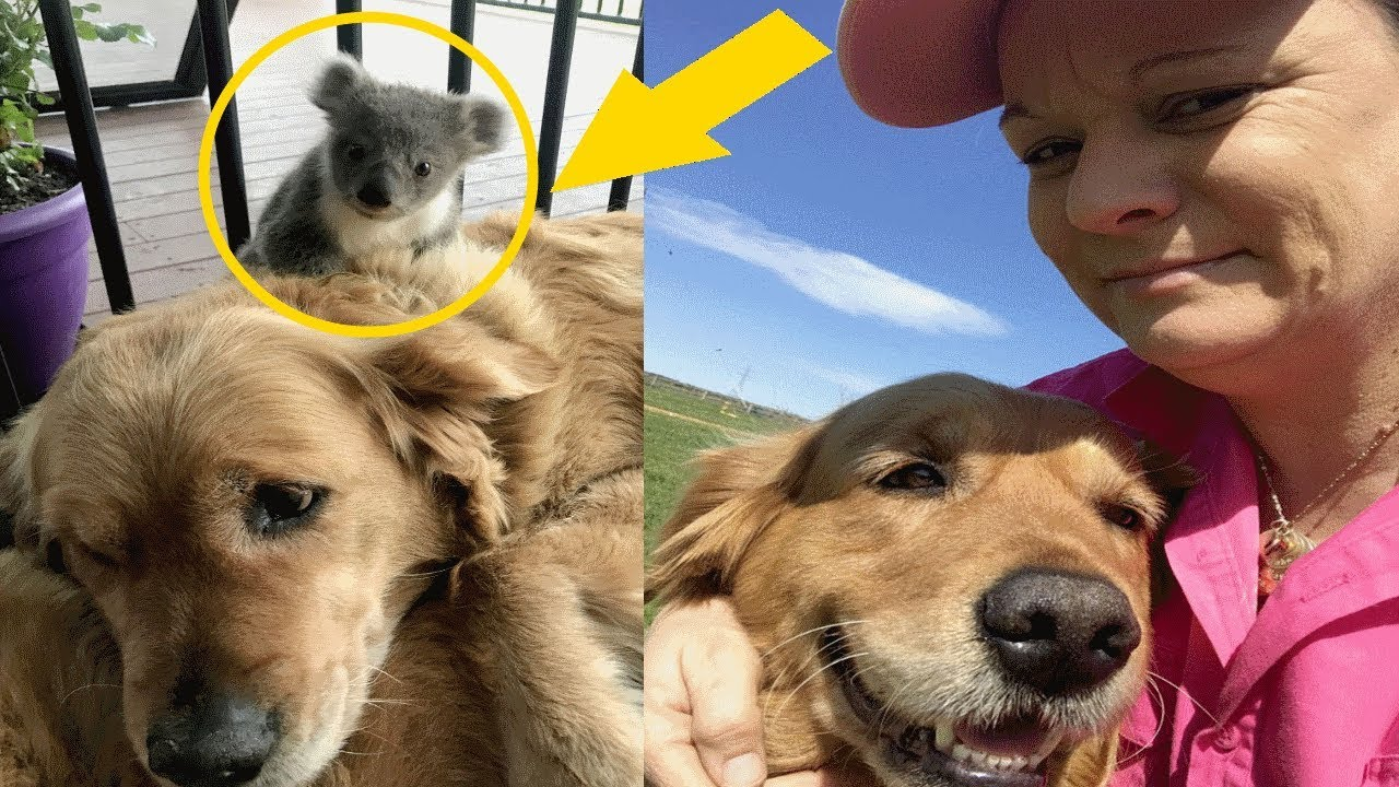 This Baby Attaches Itself To A Golden Retriever, Surprising The Dog's Owner One Morning