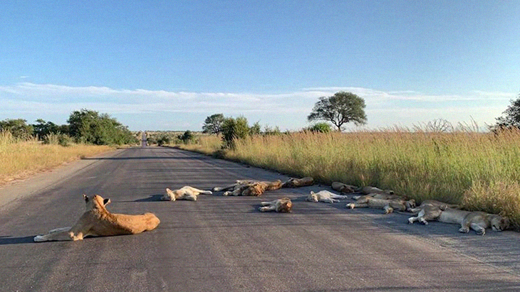 South Africans Are Forced To Quarantine, While Lions Sunbathe And Nap On Public Roads