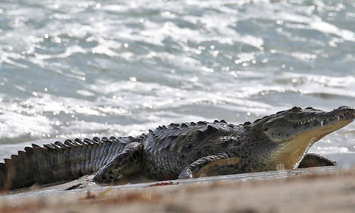 Mexico Beach Keeps Tourists Away, Crocodiles Come Over To Play