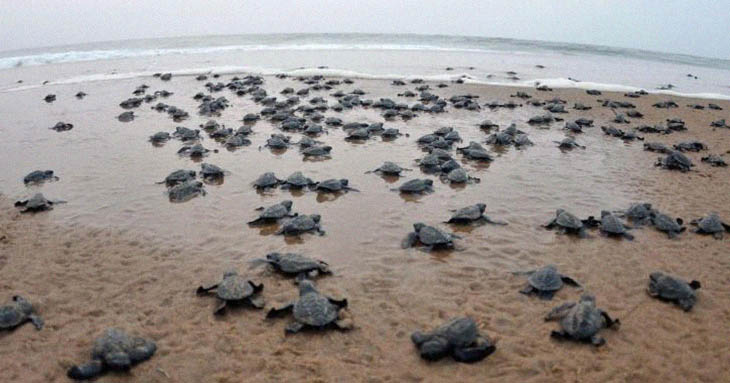 Thanks To The Coronavirus Lockdown In India, Endangered Olive Ridley Turtles Laid Sixty Million Eggs This Year