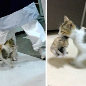 Mother Cat Brings Her Sick Offspring By The Mouth To The Emergency Room And Hospital Staff Immediately Help Them