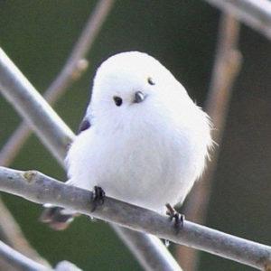 """The Amazing Hokkaido """"Flying Cotton-Ball"""" Birds"""