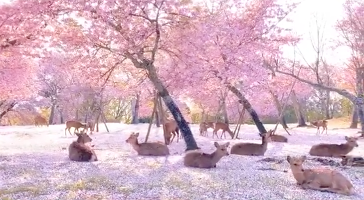Adorable Deer in an Empty Nara Park, Japan Enjoy the Cherry Blossoms All to Themselves