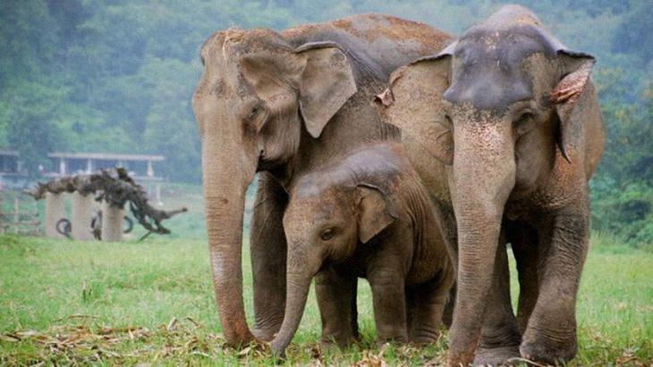 Long-Endangered Elephants Now Free To Roam Thai National Park