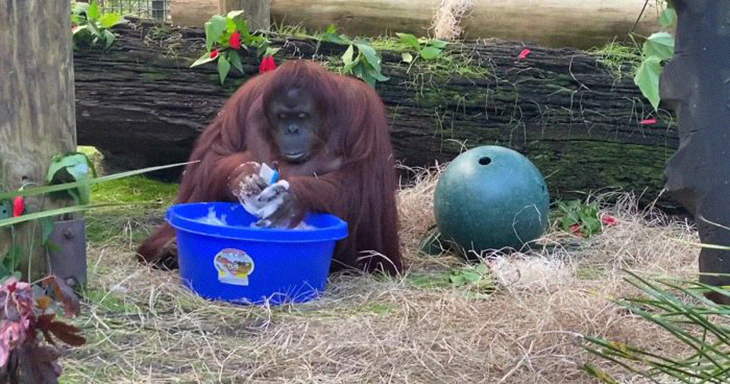 The Amazing Moment When A 34-Year Old Orangutan Learns To Wash Her Hands Caught By The Sanctuary