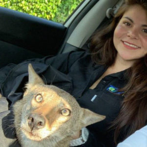 Woman Accidentally Rescues A Wild Coyote And Thought It Was A Wounded Dog