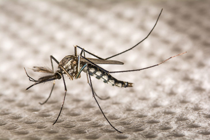 Scientists Plan To Release Genetically Modified Mosquitos In Florida And Texas