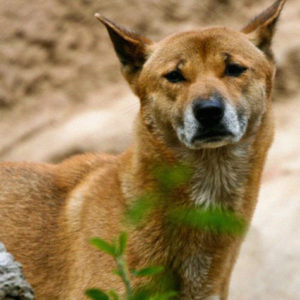 An Ancient Breed Of Singing Dogs Not Seen In 50 Years Gets Noticed In The Wild