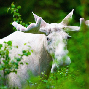 "Poachers Kill ""Sacred"" White Moose In Canada,  Angering  An Indigenous Community"