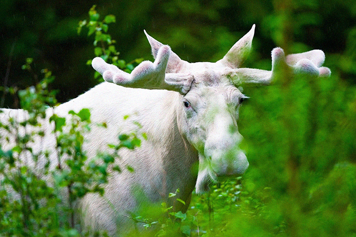 """Poachers Kill """"Sacred"""" White Moose In Canada,  Angering  An Indigenous Community"""