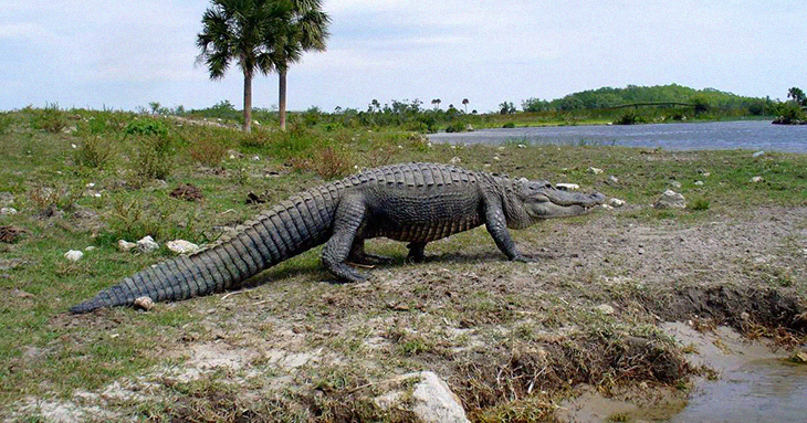 A Monster-Sized Alligator Is Seen Journeying Through A Florida Golf Course