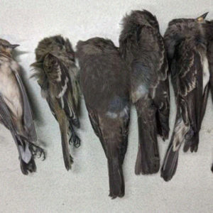 Multitudes of Birds in U.S. Southwest Fall to Their Deaths Due To Extensive Starvation