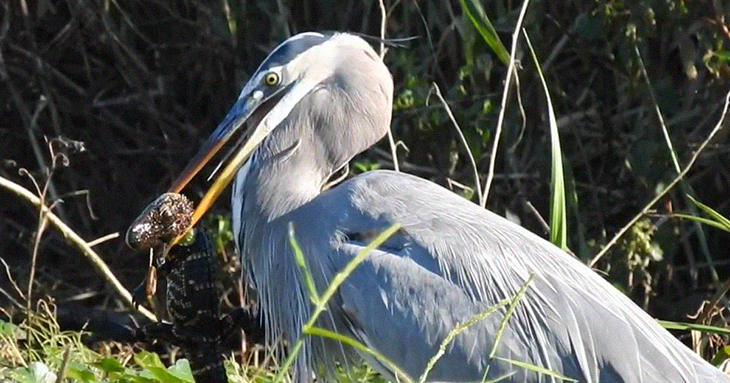Wildlife Photographer In Florida Catches Footage Of Bird Eating An Alligator Whole