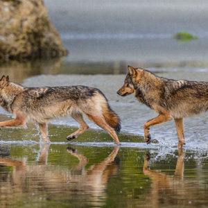These Rare Species Called 'Sea Wolves' Live In The Ocean And Are Marathon Swimmers
