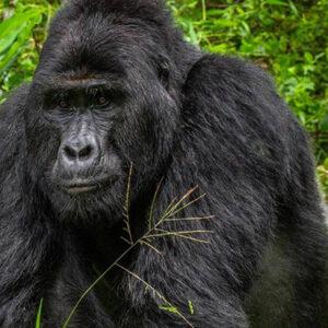 Reddit Investors Band Together To Help Thousands Of Endangered Gorillas By Using Gamestop Funds