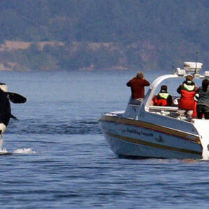 Orca Whales Are Getting More Aggressive When Attacking Boats