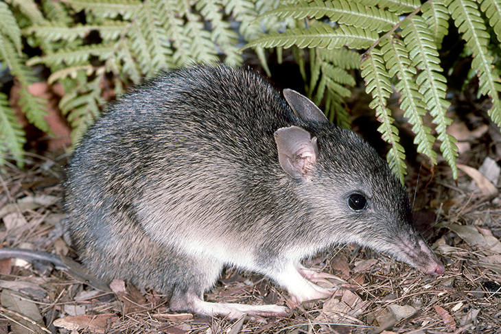 Australian Park Officials Surprised To See Bandicoots Returning After Being Extinct For More Than A Century