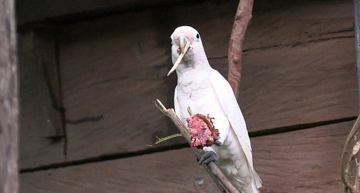 Intelligent Cockatoos Develop A 3-Piece Tool Set, Proving They're Smarter Than You Think